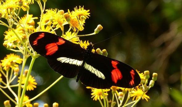 التهجين يحكي قصة تطور فراشات الغابات المطيرة بأمريكا الجنوبية