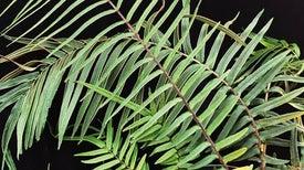 نبات السرخس آكل الزرنيخ ربما يوفر حلولًا لتطهير البيئة