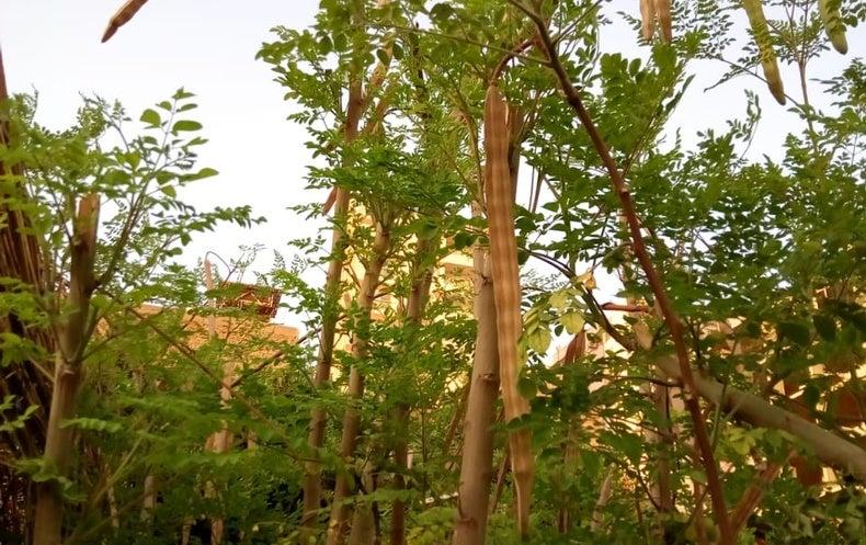 نبات المورينجا مصنع طبيعي