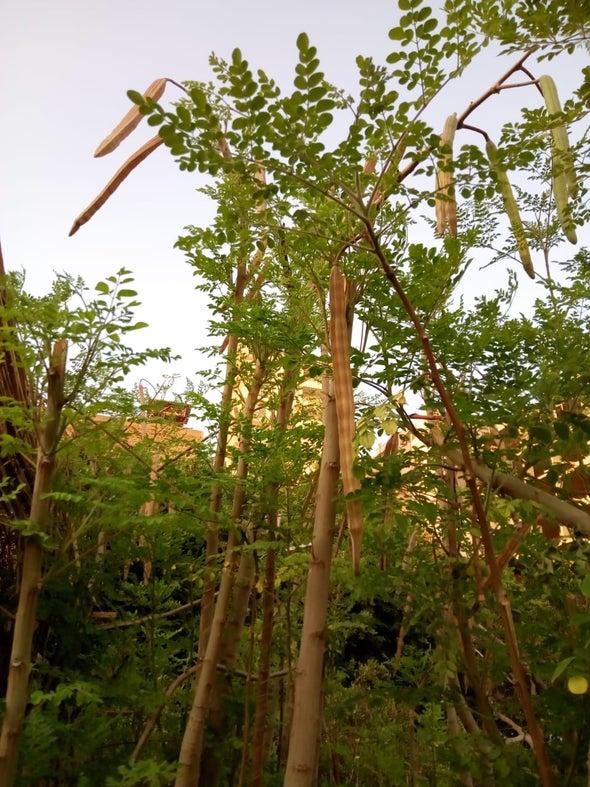 نبات المورينجا.. مصنع طبيعي لمقاومة الأكسدة ومسببات السرطان