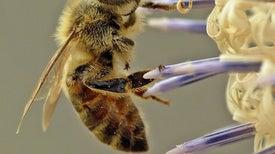 «الانهيار المفاجئ».. هل ينقرض نحل العسل في مصر؟