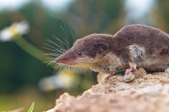 فيروس ينشره حيوان الزَبَّاب يرتبط بوفيات بشريّة ناتجة عن عدوى دماغيّة غامضة