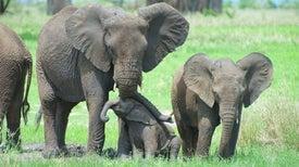 الكشف عن سر تشقق جلود الأفيال الأفريقية