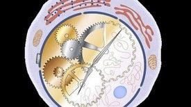 خلايا مناعية تنظم عمل الساعة البيولوجية للأمعاء