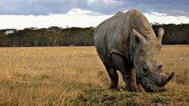 خطة نقل وحيد القرن إلى أستراليا تواجه انتقادات حادة