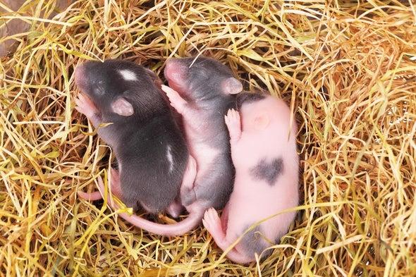 ميلاد فئران سليمة من خلايا جلد الأم