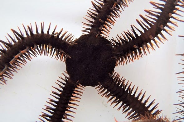 تغيير لون الجلد يساعد أحد أنواع «نجوم البحر الهشة» على الإبصار