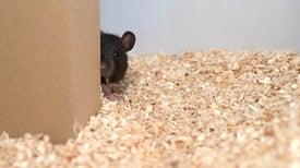 الفئران تستمتع بلعبة «الاستغماية»