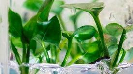 نباتات معدلة وراثيًّا تساعد على تنقية الهواء