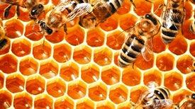 مخزون الحيوانات المنوية لدى ملكات النحل يحمل إجابات للغز انهيار مستعمراتهن