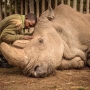 العالم يودِّع آخر ذكر من وحيد القرن الأبيض الشمالي