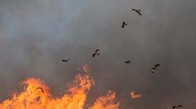 صقور النار الأسترالية.. هل هي أسطورة بروميثيوسية جديدة؟