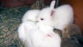 جينات حيوانات المُدرع والقنفذ والأرنب تكشف كيف تطور الحمل