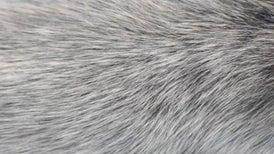 المناعة الطبيعية وراء ظهور الشعر الأبيض