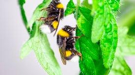 النحل الطنّان يعضّ النباتات كي يجبرها على الإزهار (هذه ليست مزحة!)