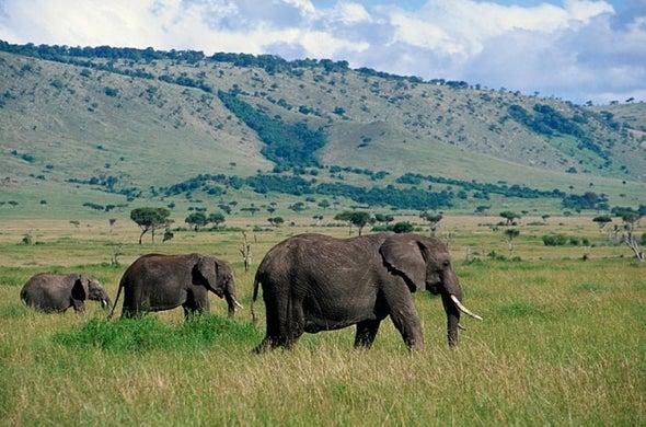 """تركيبة عضوية من """"فيرومونات النحل"""" لحماية الحقول من الأفيال"""