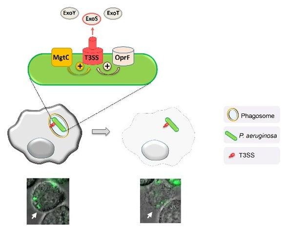 اكتشاف آلية تمزيق البكتيريا للخلايا من الداخل