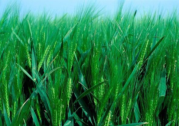 السيليكون والشيتوزان يزيدان قدرة القمح على التكيف مع نقص المياه