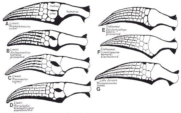 Bakker-plesiosaur-flippers-600-px-tiny-A
