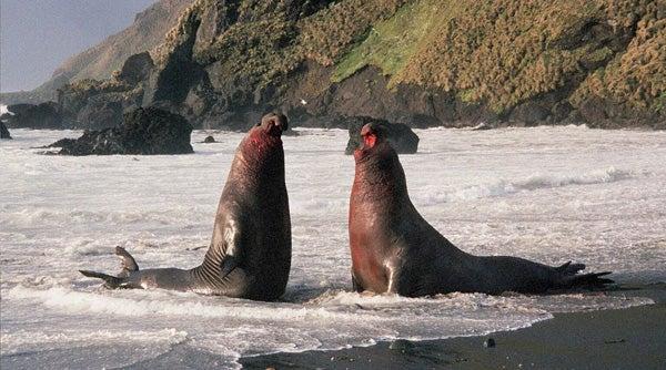 Incredible Elephant Seals, Part 1 - Scientific American ...