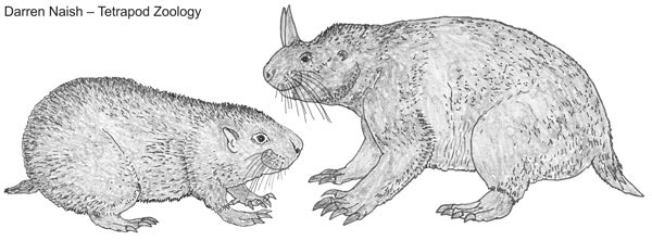 Mountain Beaver, Boomer, Sewellel - Scientific American Blog Network