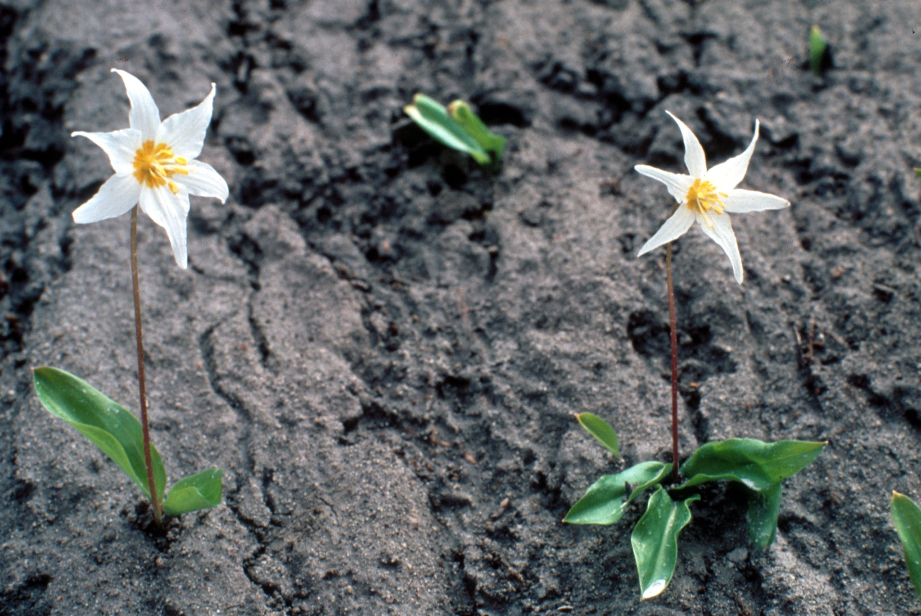 Image shows two avalanche lilies poking up through gray blast deposits. Their white six-petaled blooms with yellow centers stand out in stark contrast against the dark gray background.