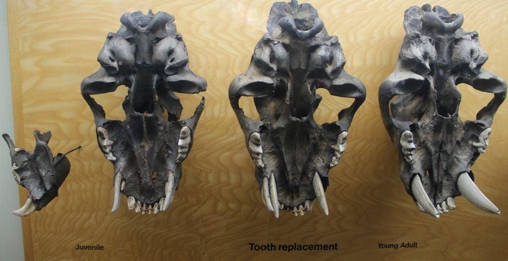 młode smilodony miały mleczne zęby, także szablaste kły, autor zdjęcia: Brian Switek