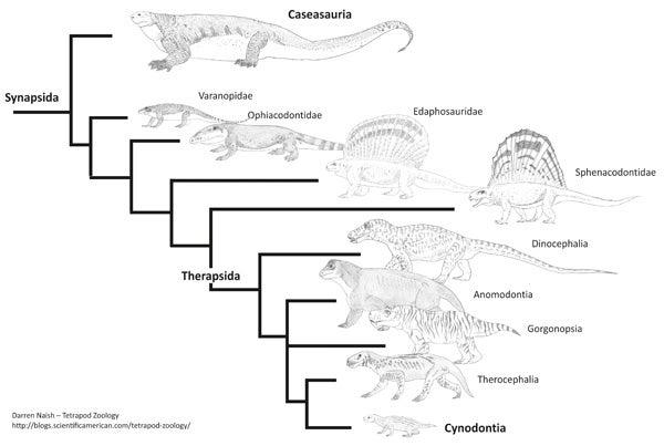 synapsid-cladogram-Tet-Zoo-600-px-tiny-S
