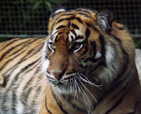 The Tiger Subspecies Revised 2017 Scientific American