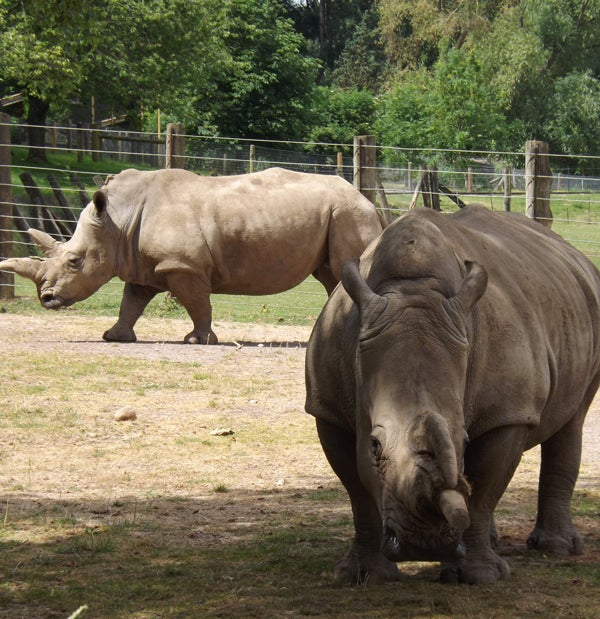 How Many White Rhino Species Are There? The Conversation