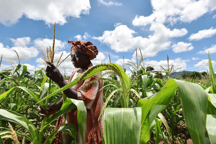 A woman in Malawi tends her maize crops