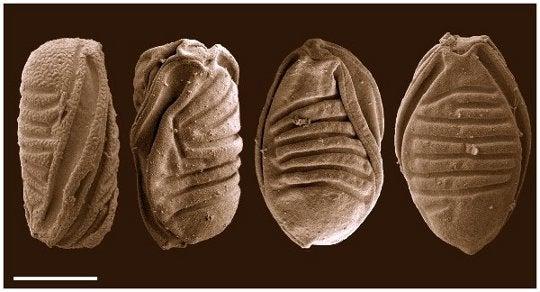 Microscopic Parasites >> When Jellyfish Became Parasites Strange Things Happened