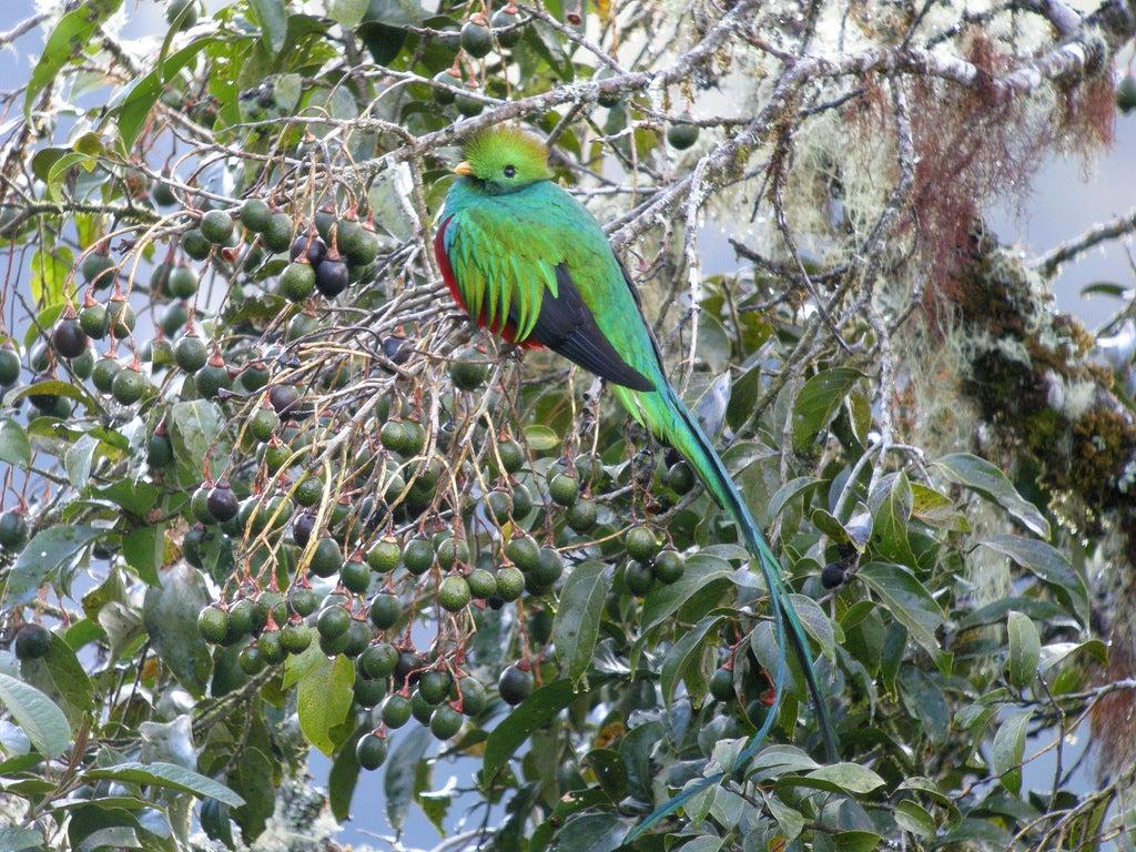 Resplendent Quetzal, Sacred Bird of Maya and Aztecs, Faces