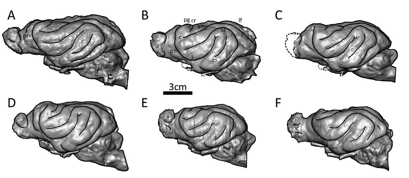 https://blogs.scientificamerican.com/blogs/assets/laelaps/File/hyena-brains.jpg