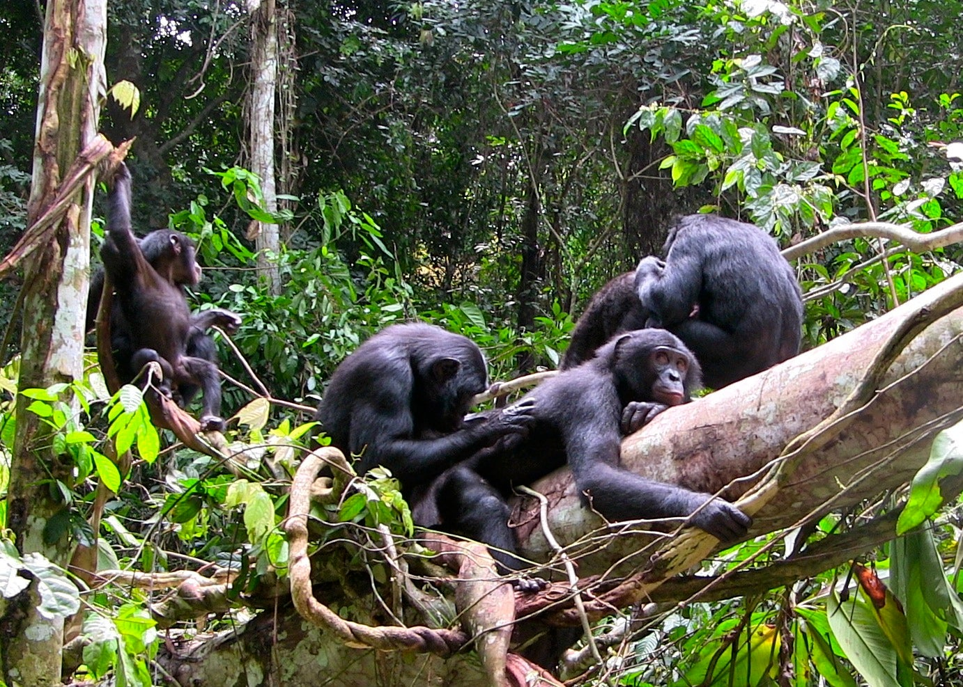 Free Ape Sex Videos how do bonobos and chimpanzees talk to one another