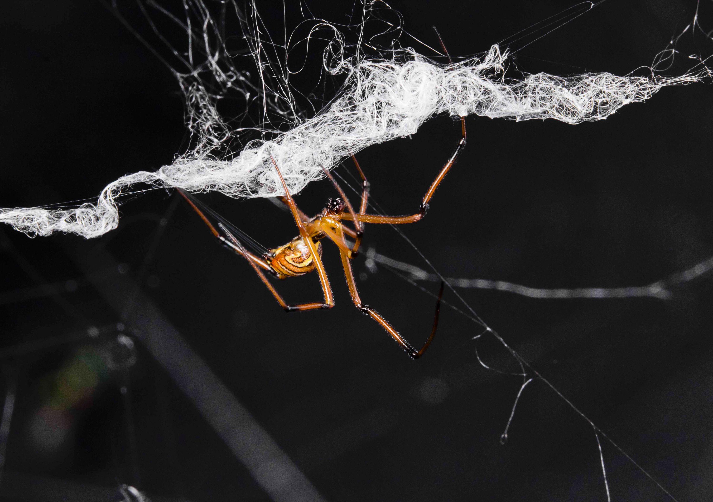 Why Are Black Widow Males So Destructive Scientific American Blog