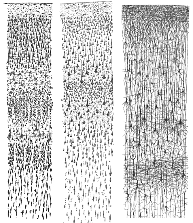 Drawings by Ramón y Cajal of the human sensory cortex