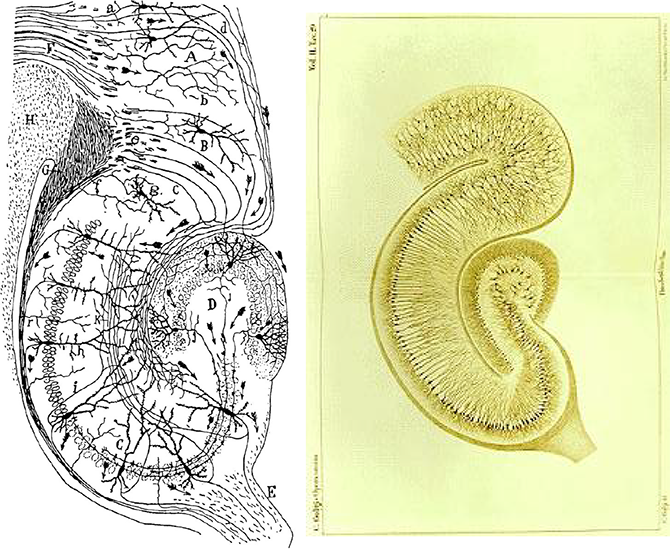 Drawings of the hippocampus by Ramón y Cajal (left) and Camillo Golgi (right)