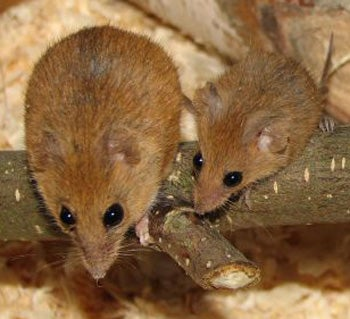 Free photo: Gerbil, Rennratte, Mouse, Rat - Free Image on Pixabay ...