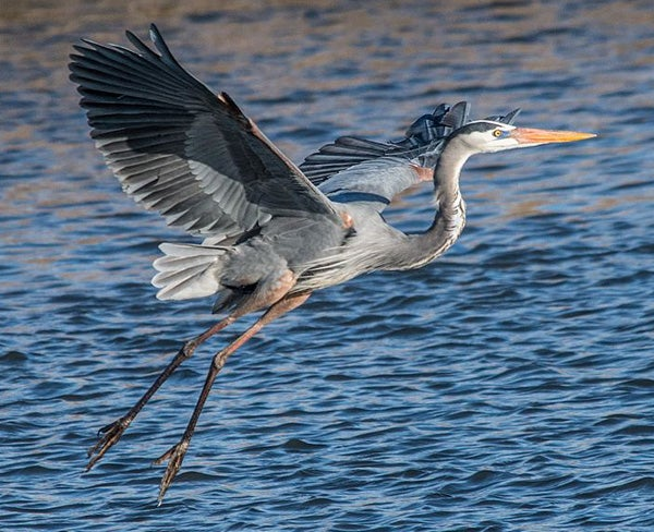 ode to the great blue heron scientific american blog network