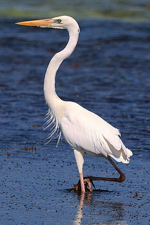 ode to the great blue heron scientific american network