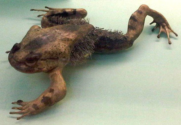 Image result for hairy frog