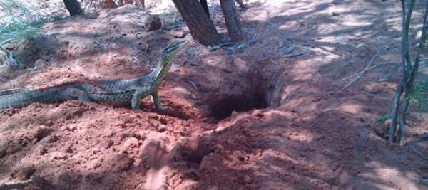 Goannas Dig the Deepest, Twistiest Burrows of All