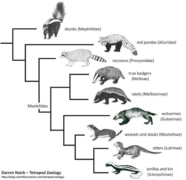 surprises from placental mammal phylogeny 2 skunks are