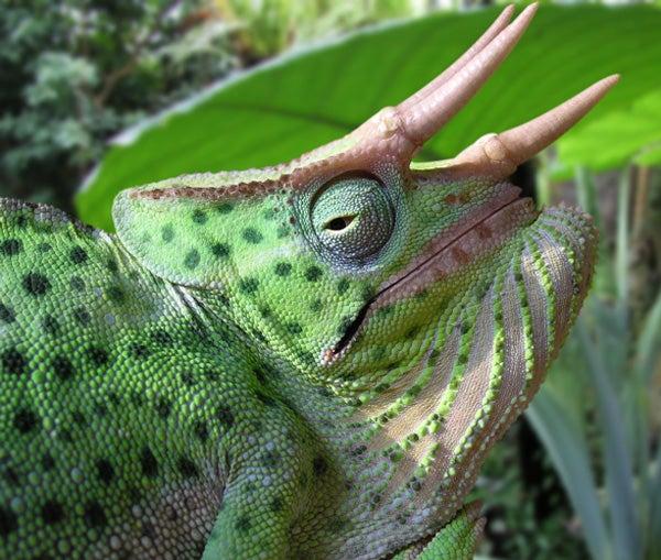 Chameleon Horns