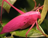 In North American Katydids, Green isn't the Dominant Colour, Pink is