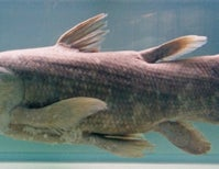 After 400 Million Years, Coelacanth at Risk of Extinction
