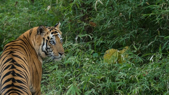 6 Reasons Why We Should Still Worry about Tigers