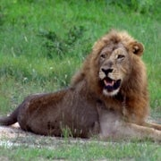 African Lions Face Extinction by 2050, Could Gain Endangered Species Act Protection