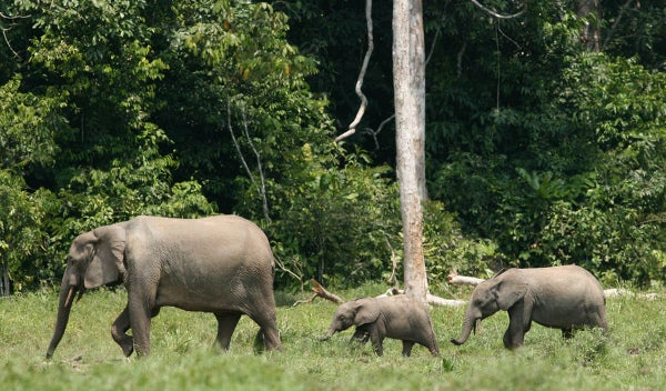 Isn't It Time We Recognize African Elephants as 2 Separate Species?